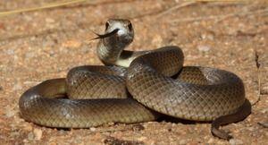 Východná hnedá hadia fotka