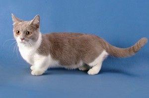 Описание на малка котка