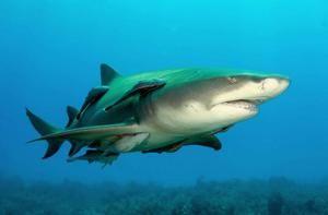 Citrónový žralok