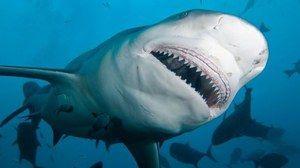 Tupý žralok