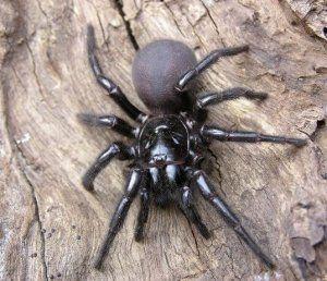 Najnebezpečnejšie pavúky v austrálii