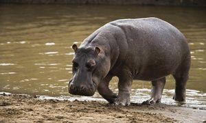 Hroch nebezpečný zviera
