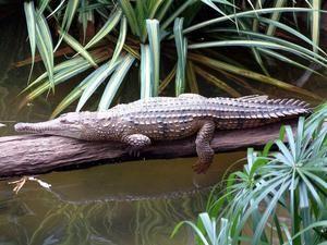 Austrálsky krokodíl
