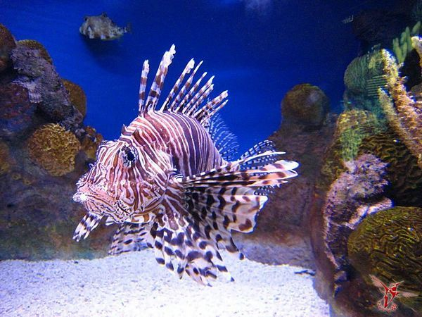 Zebra ryba