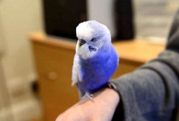 папагалчетата