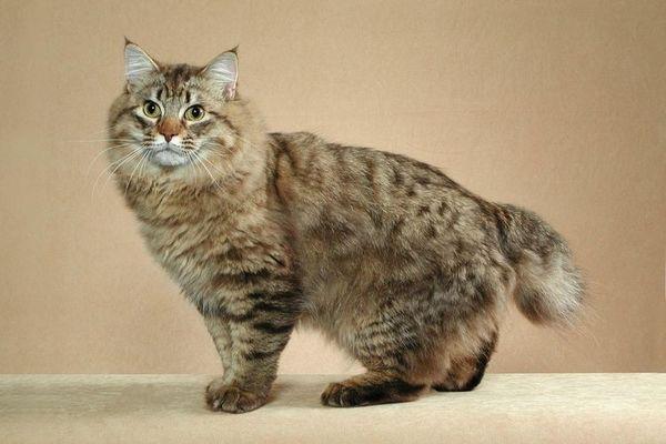 Европейска бирманска котка