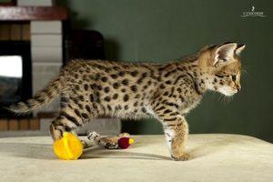 Описание на рядка порода котки