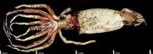 Najväčšia chobotnica