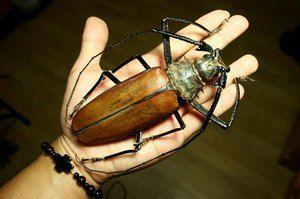 Najväčší chrobák: titánový drevorubač, hercules alebo bigtooth