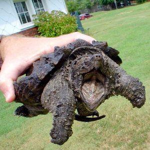 Семейство кайман: изглед - костенурки с лешояди