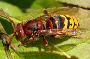 Spoločný sršeň čierny: popis hmyzu