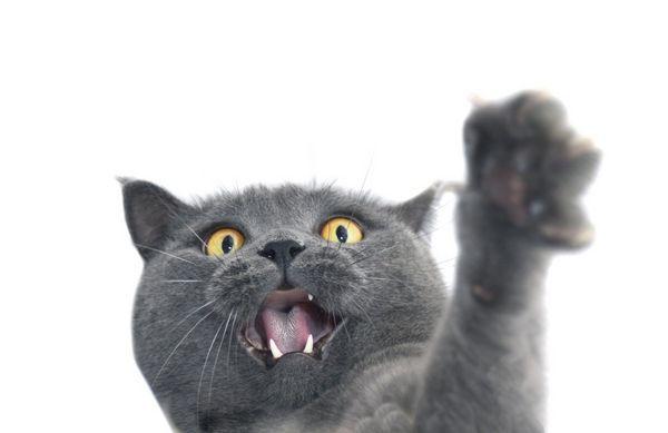 Agresívne plemená mačiek