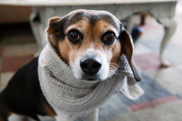 Adenoviróza u psov