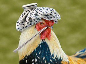 Симптоми на птичи грип при пилета. Признаци на пилешки грип
