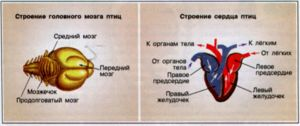 Ako funguje mozog a srdce vtáka
