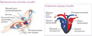 Štvorkomorové srdce - prečo vtáky potrebujú takúto orgánovú štruktúru