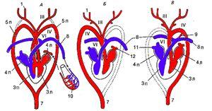 Vlastnosti štruktúry srdca a obehového systému vtákov