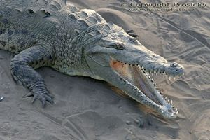 Koľko rokov žijú krokodíly