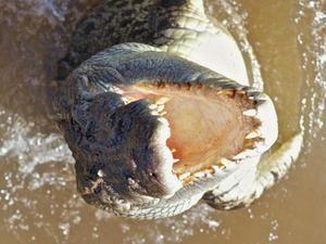 Ako sa chovajú krokodíly