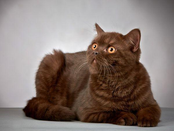 Existujú alergie na britské mačky?