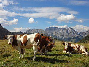 Продължителност на живота на кравите
