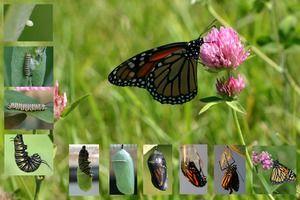 Ako dlho žijú motýle: životnosť všetkých cyklov