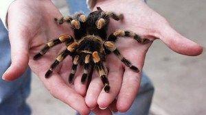 Ako dlho žijú pavúky doma