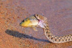 Čo hady jedia
