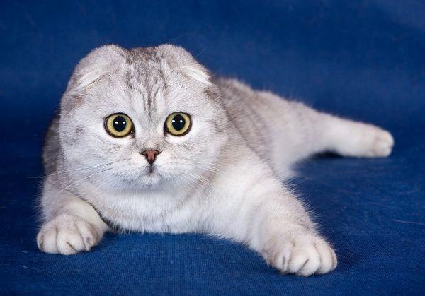 Характер на шотландска котешка котка