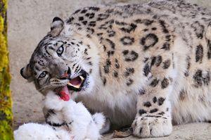 Животински снежен леопард