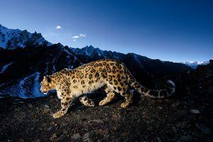 Цветът на снежния леопард