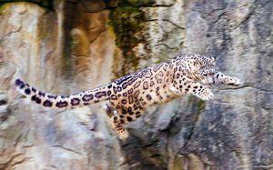 Характеристики на снежния леопард