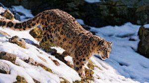 Снежен леопард начин на живот