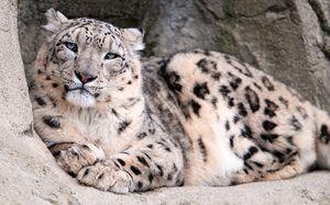 Описание на снежния леопард хищник