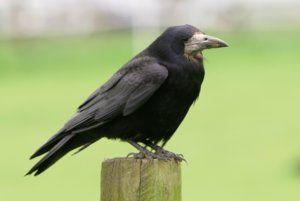 Съдържанието на голямата черна врана у дома