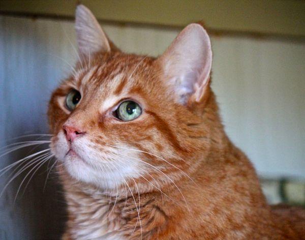 Създават се кръвни регистри на донорската котка
