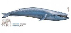 Modrá veľryba je považovaná za najväčšie zviera.