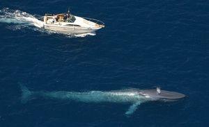 Zvierací gigant - modrá veľryba