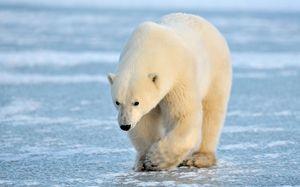 Akú veľkosť dosahuje ľadový medveď?