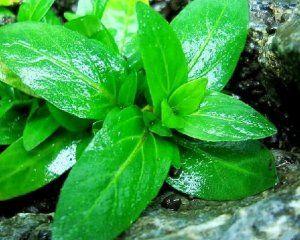 Ставрогин се повтаря: как да се грижим за аквариумно растение