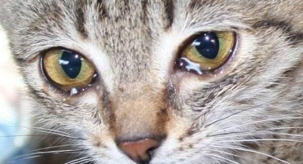 Zastavte slzy alebo ktoré mačacie očné kvapky sú pre vás najlepšie?
