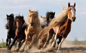 Stádo koní: výhody a vlastnosti chovu, hlavné rozdiely medzi stádami divých koní