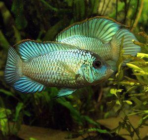 Нанокара неонов темперамент и съвместимост с други аквариумни риби