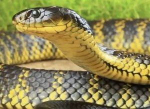 Тигрова змия: как изглежда, къде се намира, каква е опасността от отрова