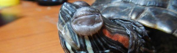 Korytnačka červenonohá má opuchnuté oči: domáca liečba