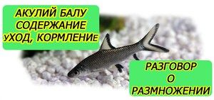 Shark balu - akvarijné ryby