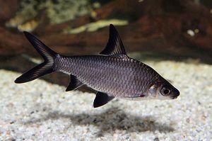 Žraločie akváriové ryby