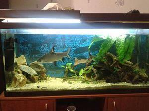 Barbus - akvaristické ryby