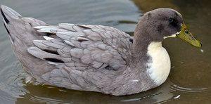 Obľúbená kačica modrá: popis plemena