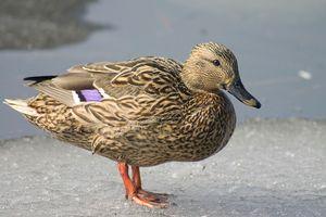 Kačica divá: životný štýl, biotopy v prírode
